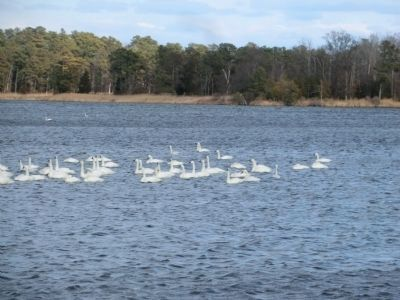 Tundra Swan in the Chester River image. Click for full size.
