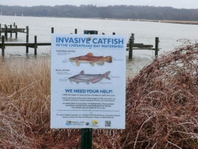 Invasive Catfish in the Chesapeake Bay Watershed image. Click for full size.