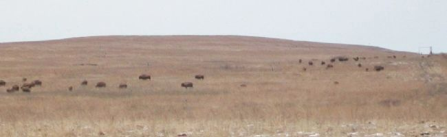 Free Ranging Bison at Tallgrass Prairie Preserve image. Click for full size.