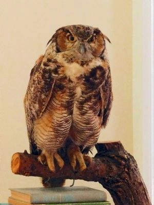 Great Horned Owl image. Click for full size.