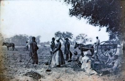 Slaves Planting sweet potatoes, 1864 image. Click for full size.