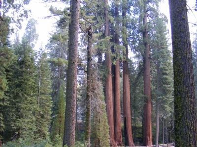 Giant Sequoia Trees image. Click for full size.
