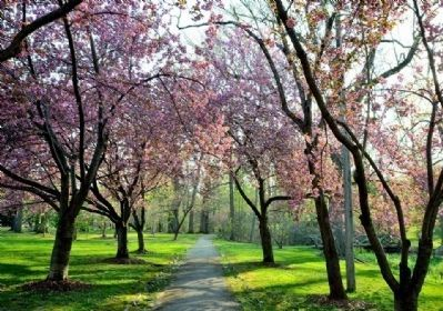Cherry trees in full bloom image. Click for full size.