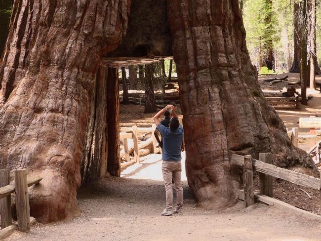 California Tunnel Tree image. Click for full size.