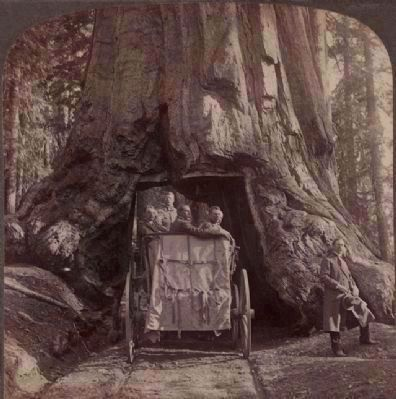 "<i>President Roosevelt amid ""Nature&#39;s Wonders"" - driving through Wawona, Big Trees of California</i> image. Click for full size."