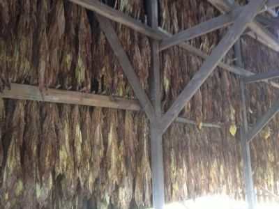 Tobacco Drying image. Click for full size.