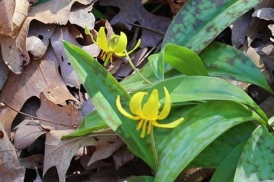 Yellow Trout Lily, <i>Erythronium americanum,</i> Blooming in the Garden This Day image. Click for full size.