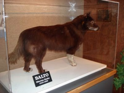 Balto, Taxidermied and on display at the Cleveland Museum of Natural History image. Click for full size.
