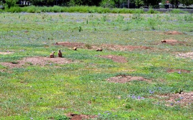 Prairie Dogs in Red Bud Park image. Click for full size.