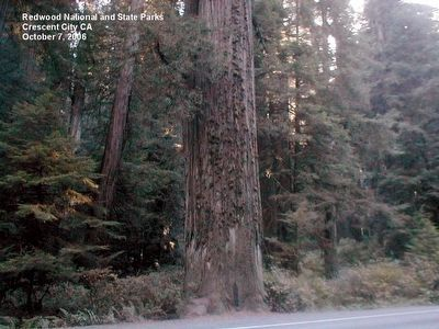 Redwood Trees image. Click for full size.