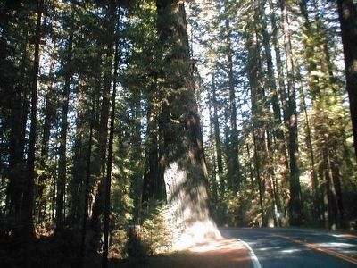 Giant Redwood Trees image. Click for full size.