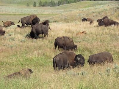 Bison in Yellowstone National Park image. Click for full size.