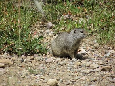 Uinta Ground Squirrel image. Click for full size.