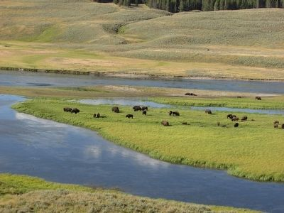 Bison in the Hayden Valley image. Click for full size.