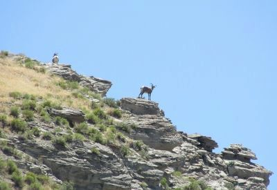 Bighorn Sheep on the Cliffs image. Click for full size.