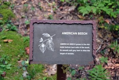 American Beech Interpretive Sign image. Click for full size.