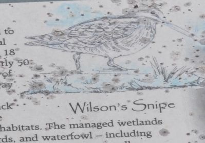 Wilson's Snipe image. Click for full size.