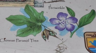 Chinese Parasol Tree ~ Periwinkle image. Click for full size.