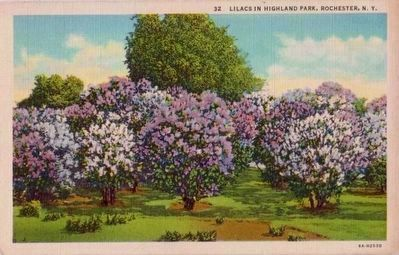 <i>Lilacs in Highland Park, Rochester, N.Y.</I> image. Click for full size.