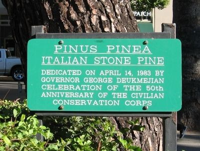Pinus Pinea Marker image. Click for full size.