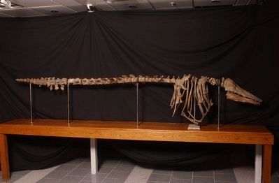 The Charlotte Whale Fossil image. Click for full size.