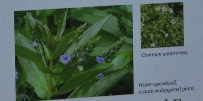 Common watercress, Water-speedwell a state endangered plant image. Click for full size.