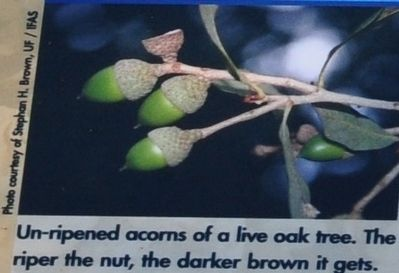 un-ripened acorns of a live oak tree. The riper the nut, the darker brown it gets. image. Click for full size.