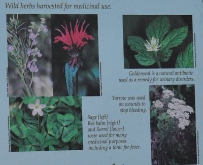 Wild Herbs Harvested For Medicinal Use. image. Click for full size.