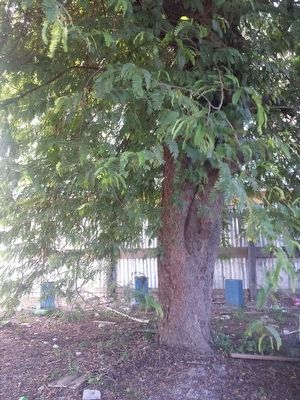 Mission Chapel Congregational Church Tamarind Tree image. Click for full size.