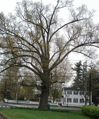 The Constitution Oak of Avon, Connecticut image. Click for full size.