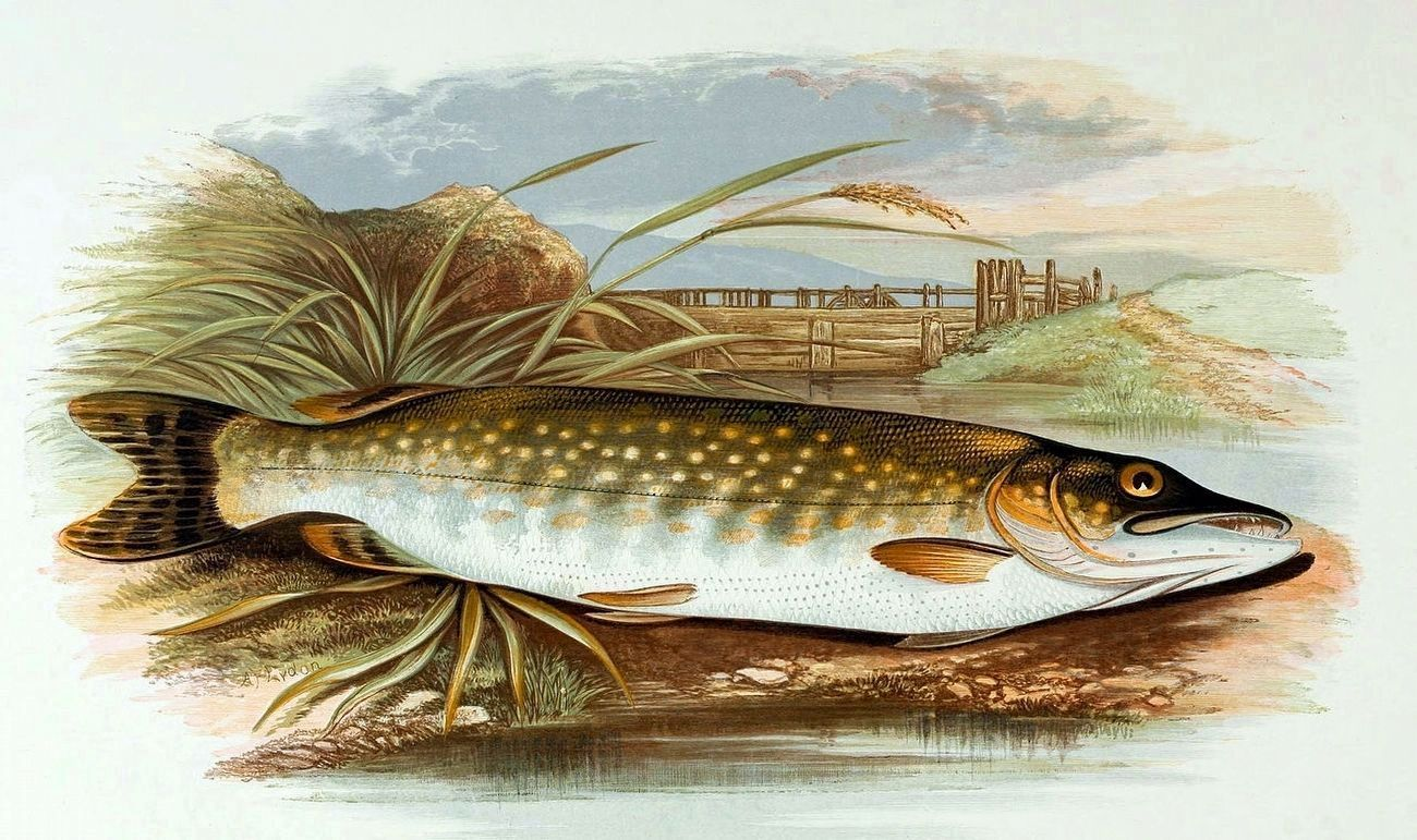 Northern Pike image. Click for full size.