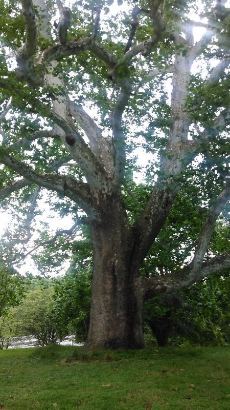 Ancient Sycamore Tree up close image. Click for full size.