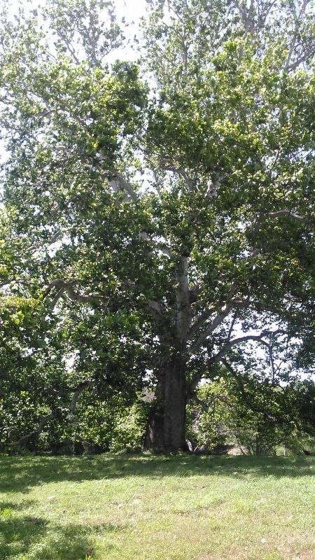Ancient Sycamore Tree image. Click for full size.