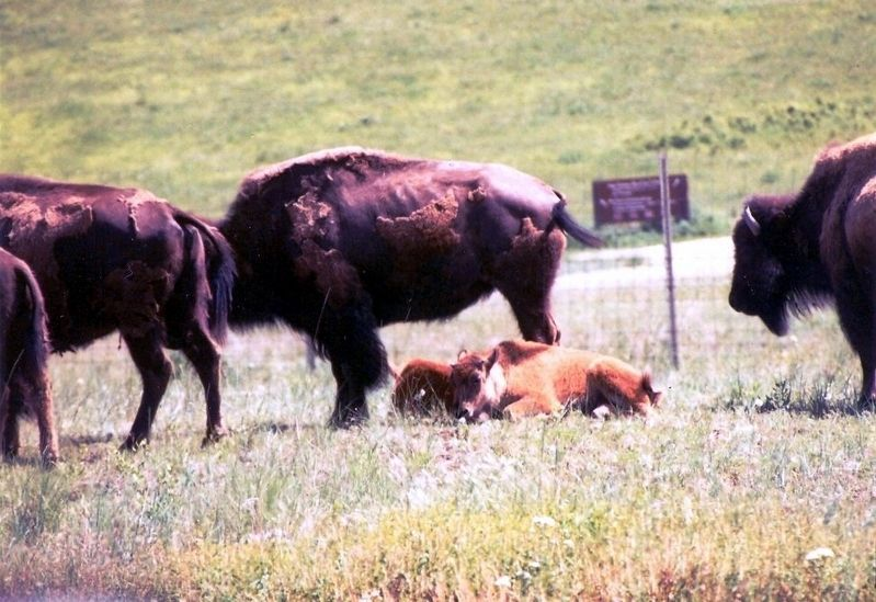 The National Bison Range-Bison babies on the ground image. Click for full size.