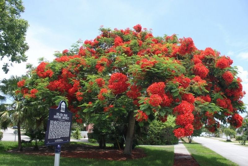 Del-Ida Park Historic District Marker looking down NE 5th Street with royal poinciana tree. image. Click for full size.
