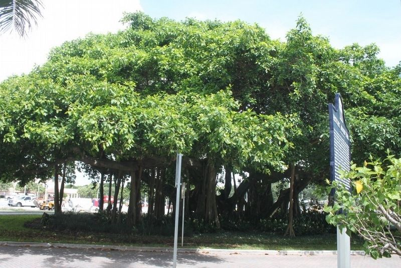 Historic Banyan Trees Marker with tree in background looking west across MacArthur Blvd. image. Click for full size.