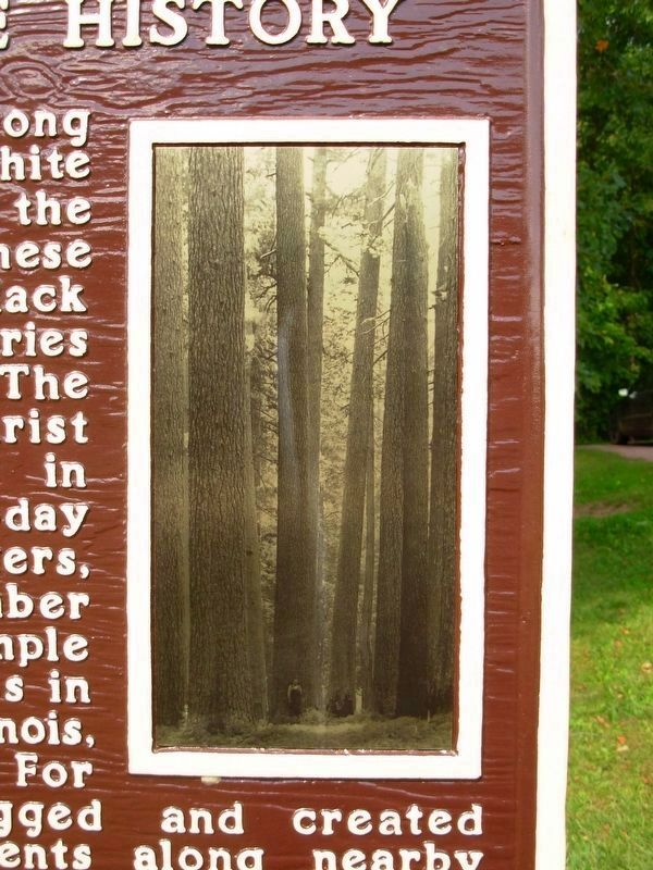 The White Pine in Neillsville History Marker image. Click for full size.