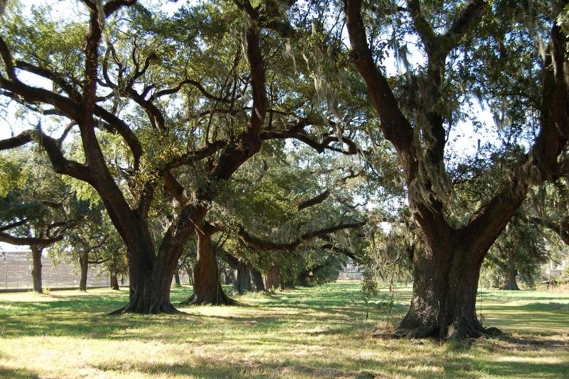 Versailles Oaks image. Click for full size.