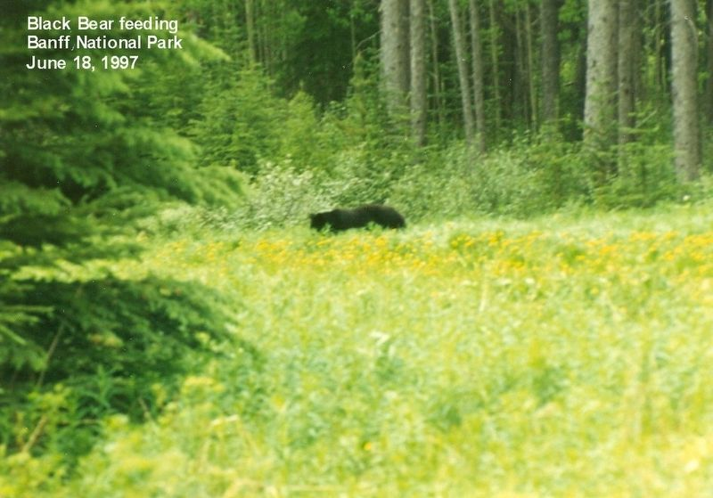 Bear feeding in Banff National Park image. Click for full size.