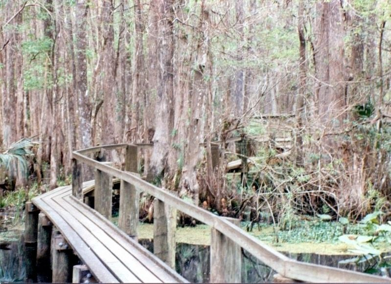 The Cypress Swamp image. Click for full size.