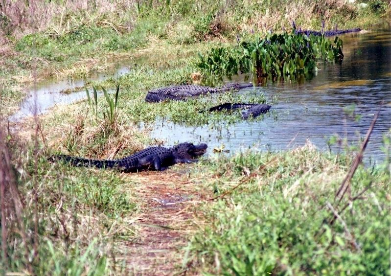 The Cypress Swamp-Alligators image. Click for full size.