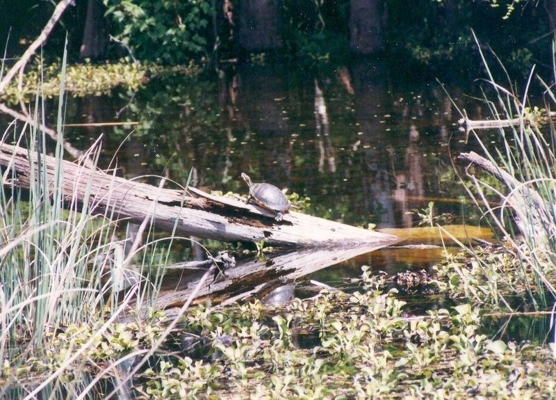 The Cypress Swamp-Turtle on a log image. Click for full size.