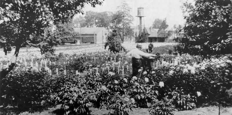 Edward Schwartz in his Peony Garden c. 1918. image. Click for full size.