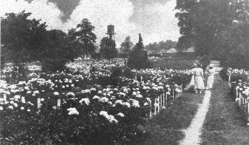 The Schwartz Peony Garden, early 1900's image. Click for full size.