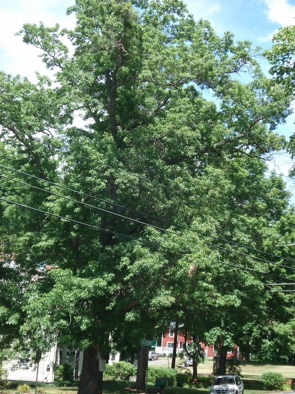 Constitution Oak in Simsbury. image. Click for full size.