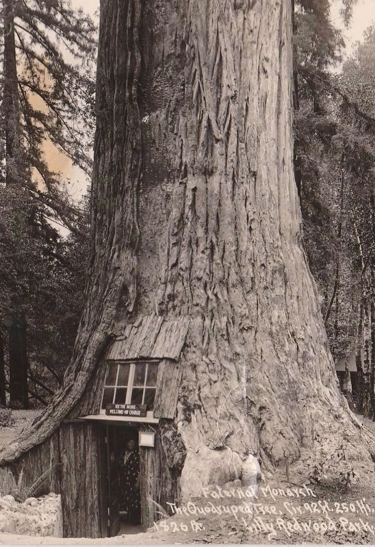 Vintage Postcard View of the Tree House image. Click for full size.