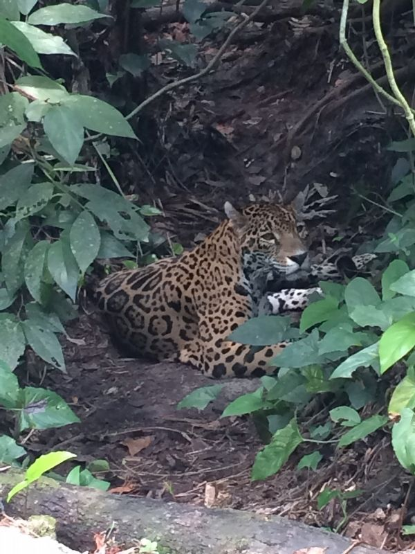 A jaguar at the Belize Zoo image. Click for full size.