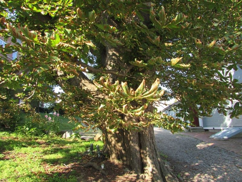 Horse Chestnut Tree image. Click for full size.