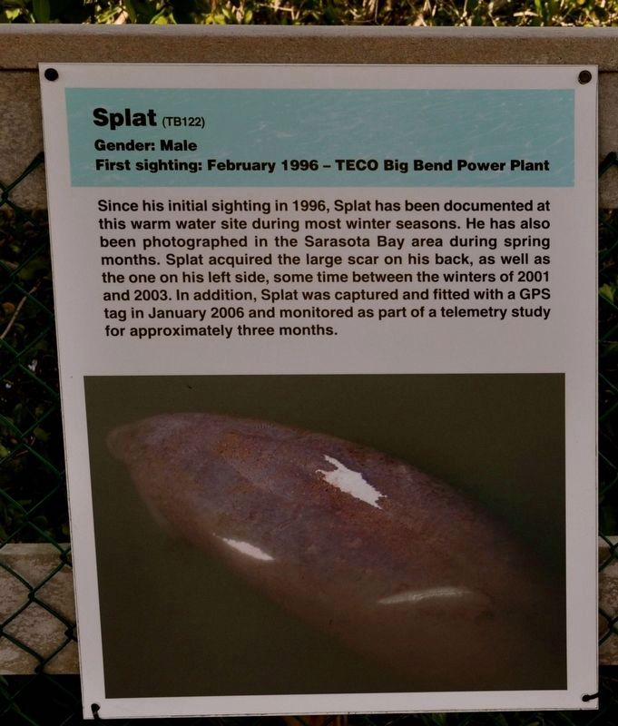 Manatee Scar Identification Marker image. Click for full size.
