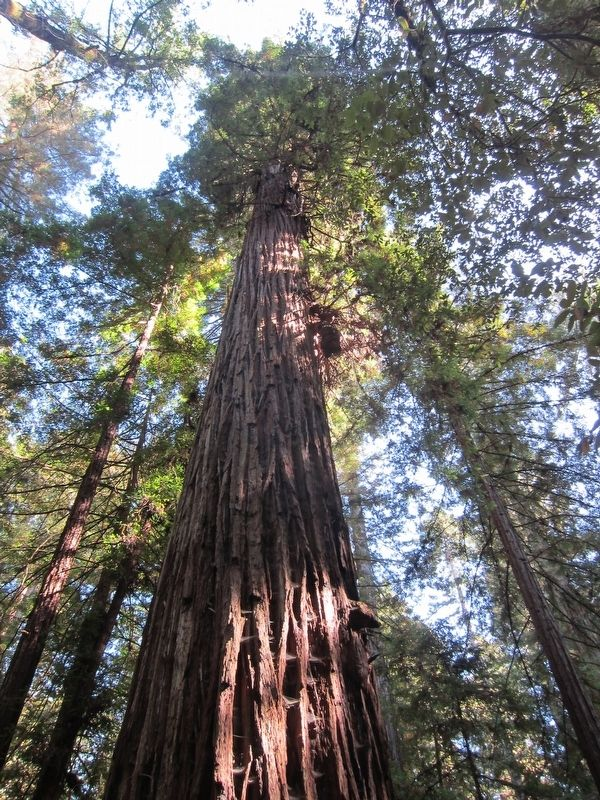Colonel Armstrong Redwood in Armstrong Woods SNR image. Click for full size.